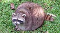 Drunk raccoons put into custody, fermented fruit to blame