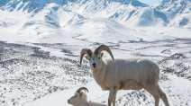 Baaad news for Yukon's Stone sheep: they aren't Stone sheep