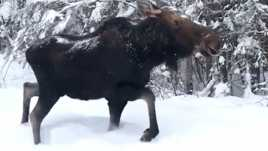 how do you say moose in spanish