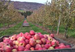 Apple picking to make some fresh juice. Courtesy: Mario Cyr